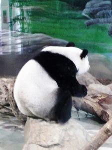 taipei panda
