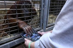 Orangutans and Ipads