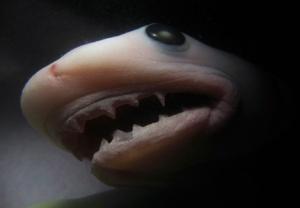 Shark Fetus, Killer